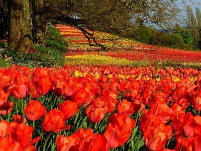 Tulpenveld:  De meivakantie stond voorheen ook wel bekend als de tulpvakantie